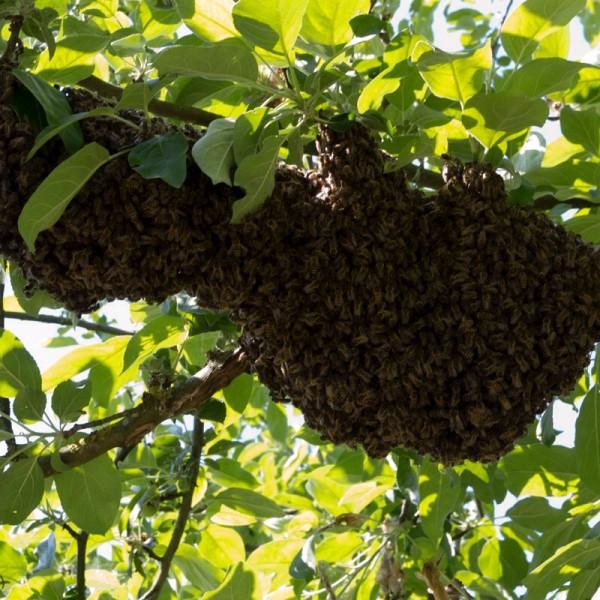 Wilde zwerm bijen in appel
