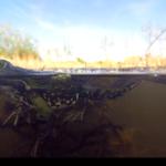 Meerkikker, foto Jasper Schiphof